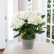 White Hydrangea in Grey Pot