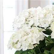 White Christmas Hydrangea