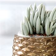 Crystal Cone Succulent