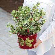 Jolly Holly Plant