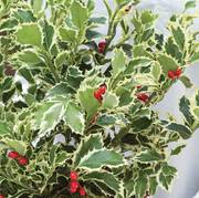 Holly Jolly Plant