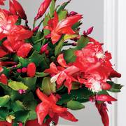 Candy Cane Christmas Cactus
