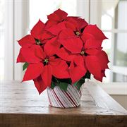 All That Glitters Poinsettia