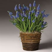 Bountiful Blue Muscari