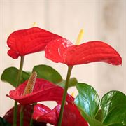 Red Anthurium in Basket