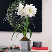 Silver Bells Amaryllis - Single