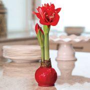 Red Waxed Amaryllis
