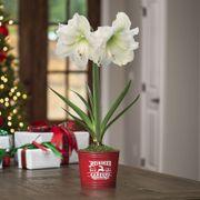 Country Christmas Amaryllis - Single