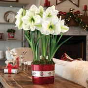 Let it Snow Amaryllis - Triple