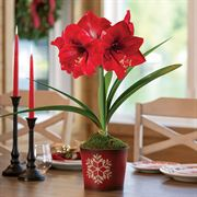 Winter's Warmth Amaryllis - Single