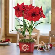 Winter's Warmth Amaryllis - Double