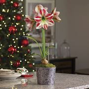 Whimsical Wonders Amaryllis - Single