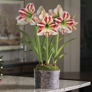 Whimsical Wonders Amaryllis - Triple