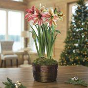 Shimmering Holiday Amaryllis - Double