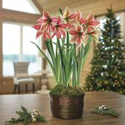 Shimmering Holiday Amaryllis - Triple