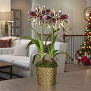 Golden Glow Amaryllis - Double
