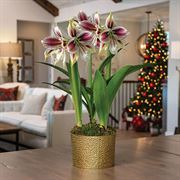 Golden Glow Amaryllis - Triple