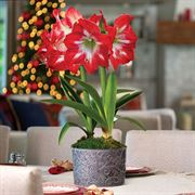 Christmas Cocktail Amaryllis - Double