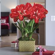 Good Tidings Amaryllis - Triple