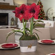 Run Run Rudolph Amaryllis - Double