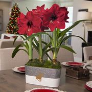 Run Run Rudolph Amaryllis - Triple