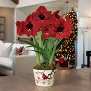 Winter Wishes Amaryllis