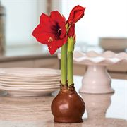 Copper Waxed Amaryllis