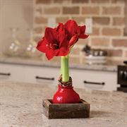 Rustic Waxed Amaryllis - Single