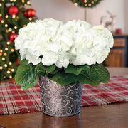 Charming Christmas Hydrangea