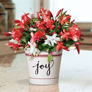 Joy of Christmas Cactus