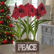 Sweet Sentiments Amaryllis - Triple