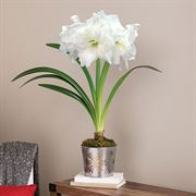 Snowflake Splendor Amaryllis - Single