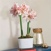 Whimsical Wonders Amaryllis - Double
