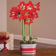 Home for Christmas Amaryllis