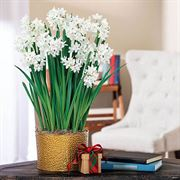 Peaceful Paperwhites