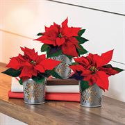 Festive Flurry Poinsettia Trio