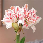 Holiday Song Single Dancing Queen Amaryllis Alternate Image 1
