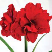Joyous Season Single Ragtime Amaryllis Alternate Image 1