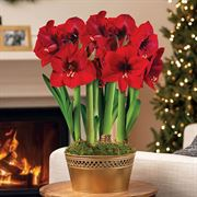 Holiday Pageant Ultimate Red Lion Amaryllis Thumb