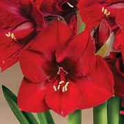 Holiday Pageant Ultimate Red Lion Amaryllis Alternate Image 1