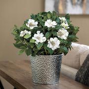 Glamorous Gardenia Thumb