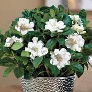 Glamorous Gardenia Alternate Image 1