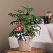 Norfolk Pine Thumb