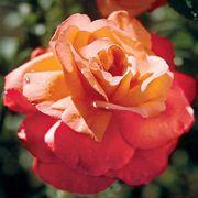 Voodoo Hybrid Tea Rose Alternate Image 1