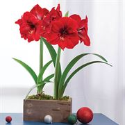 Country Christmas Amaryllis - Double