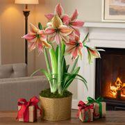 Shimmering Holiday Amaryllis - Triple