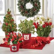 Candy Cane Christmas Cactus in Linen Container
