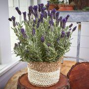 Natures Perfume Lavender Gift Basket