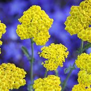 Little Moonshine Yarrow