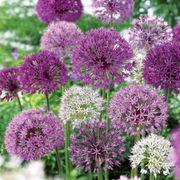 Allium Garden Box Mix